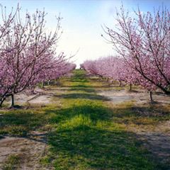 hamorchard.com